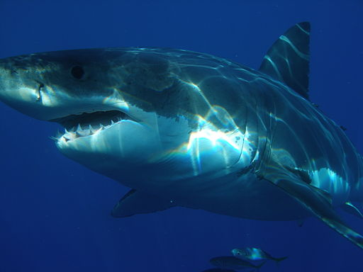 512px-Carcharodon_carcharias